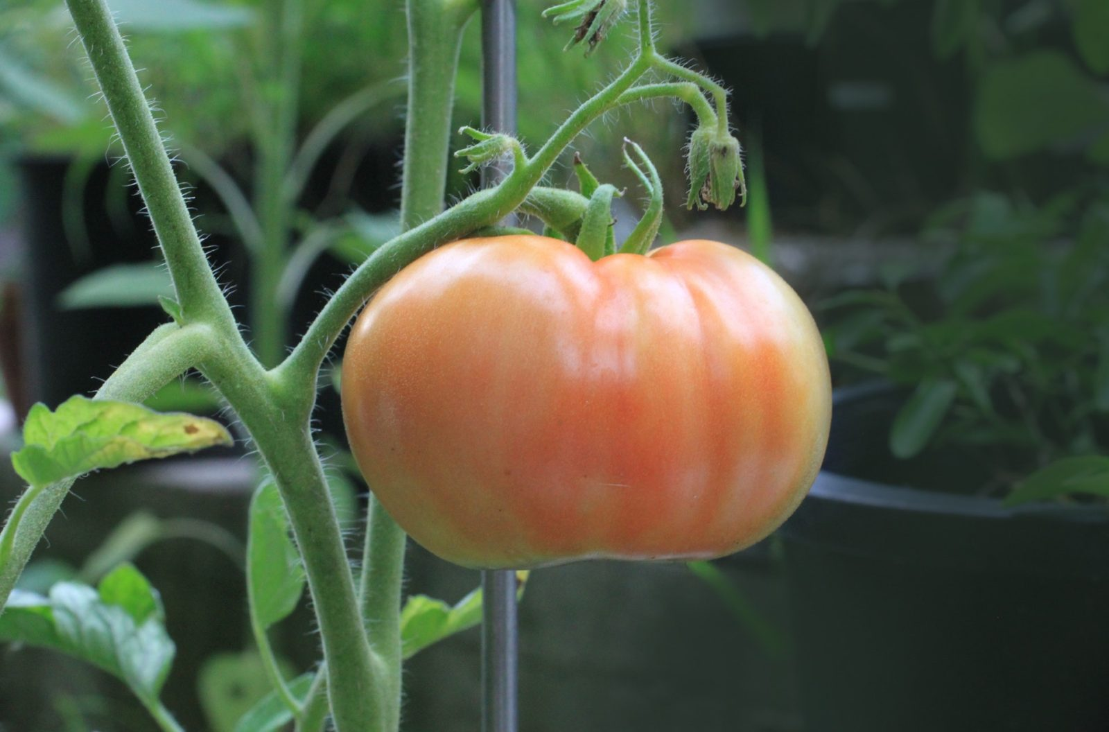 What is the best way to save your tomato plants?